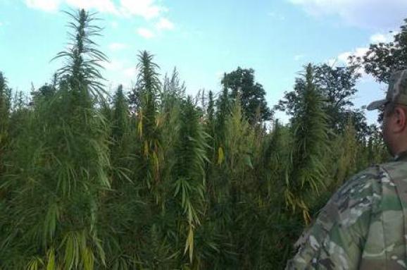 плантация канабиса