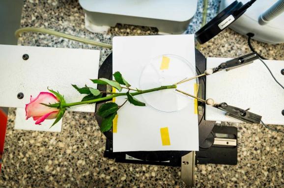 троянда-акумулятор