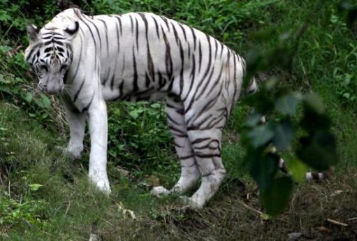 india corruption white tiger Aravind adigas the white tiger the circumstances and society of india is similar to the tiger which is aravind adiga describes the corruption and.