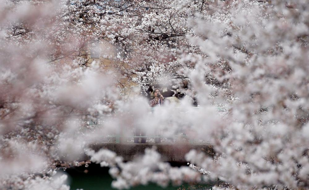Весна пришла в Токио: в столице зацвела сакура