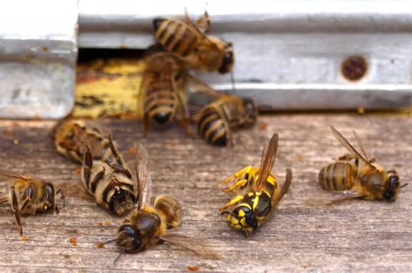 Пчелиный мор. Почему они снова массово гибнут в Украине