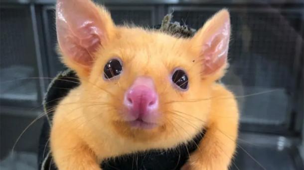 """В Австралии нашли """"настоящего"""" Пикачу. Кто это и почему животное """"пожелтело"""""""
