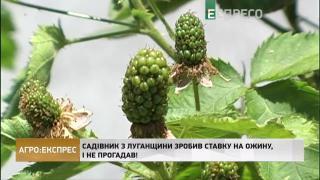 Агро-Експрес | Садівник з Луганщини зробив ставку на ожину, і не прогадав
