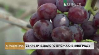 Агро-Експрес | Секрети вдалого врожаю винограду